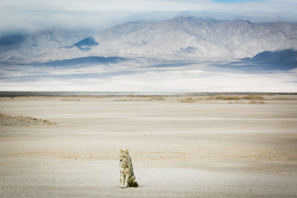 Lone coyote sitting on ground with mountains in background in Death Valley National Park