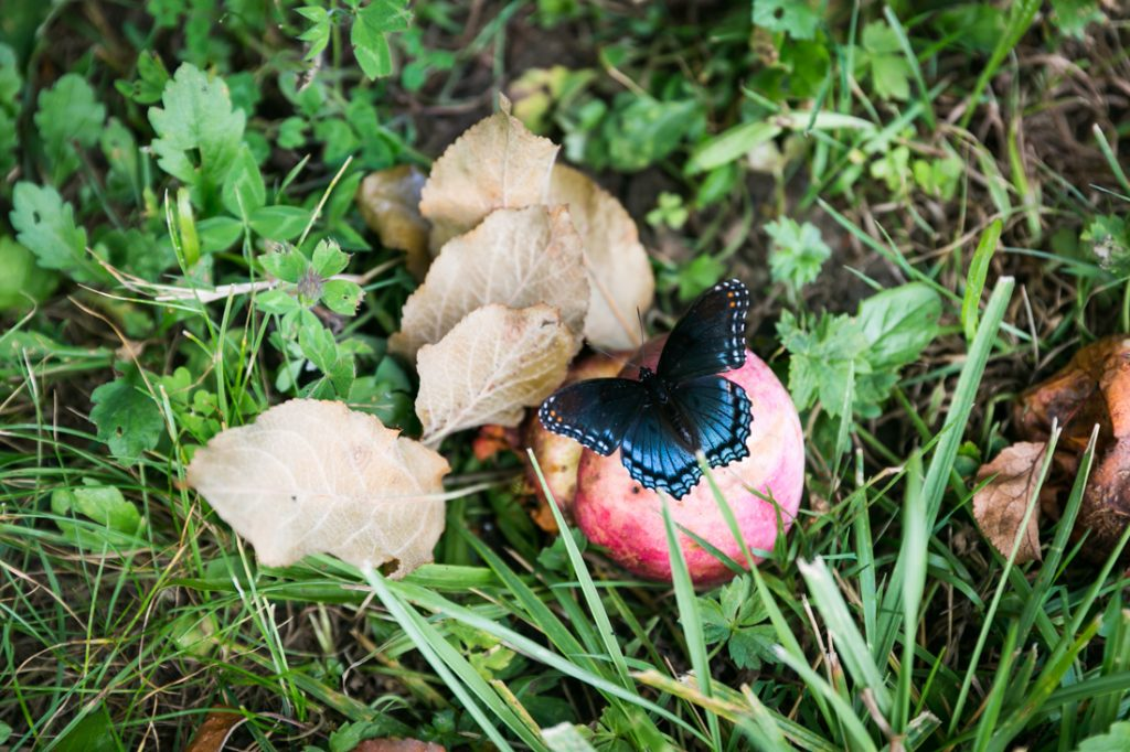 Butterfly with apple by North Carolina photographer, Kelly Williams