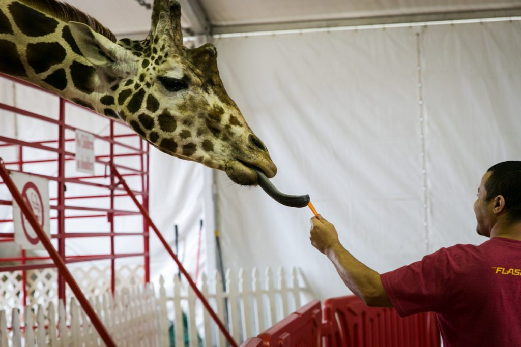 Feeding Twiggs the giraffe at the Florida State Fair, photographed by NYC photojournalist, Kelly Williams.
