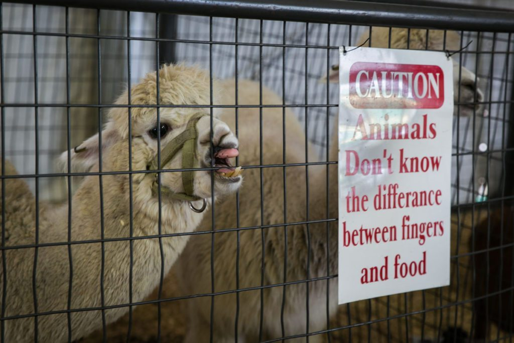 A llama at the Florida State Fair, photographed by NYC photojournalist, Kelly Williams.
