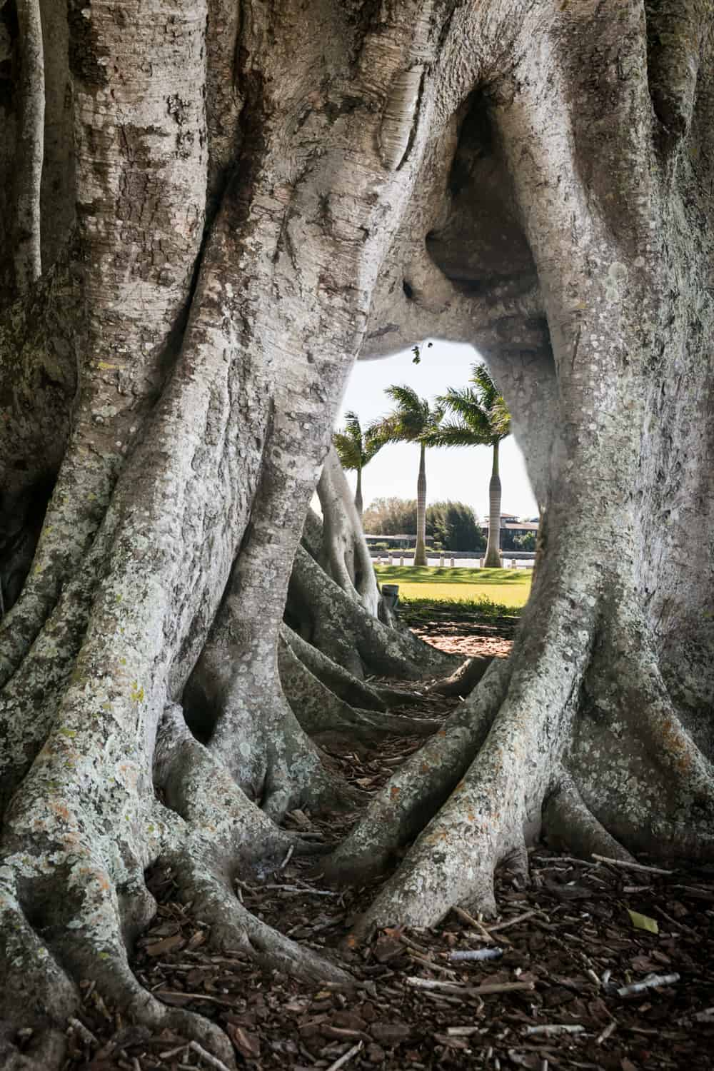 View of palm trees through hole in banyan tree in Sarasota