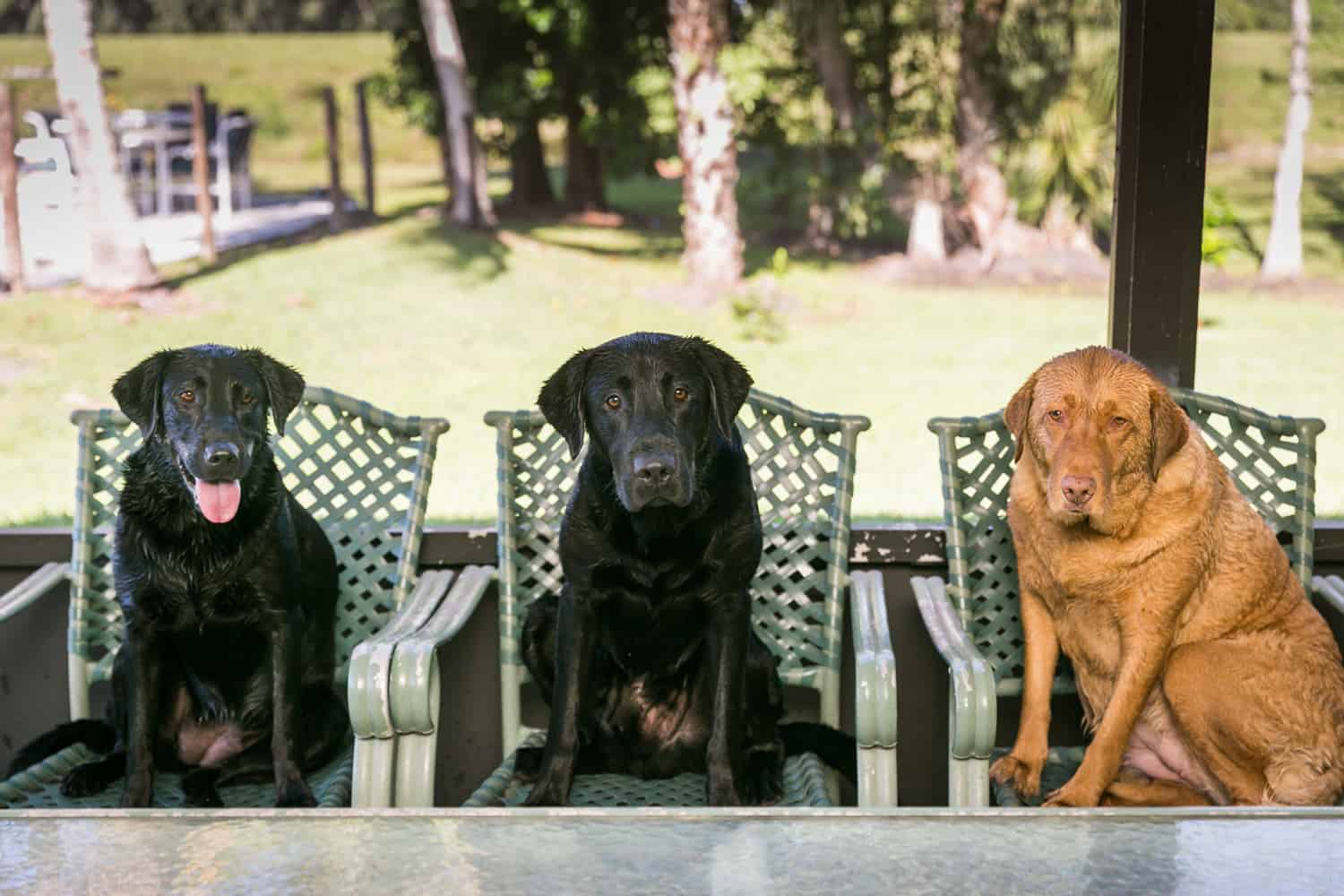 Three labrador retriever dogs sitting in chairs