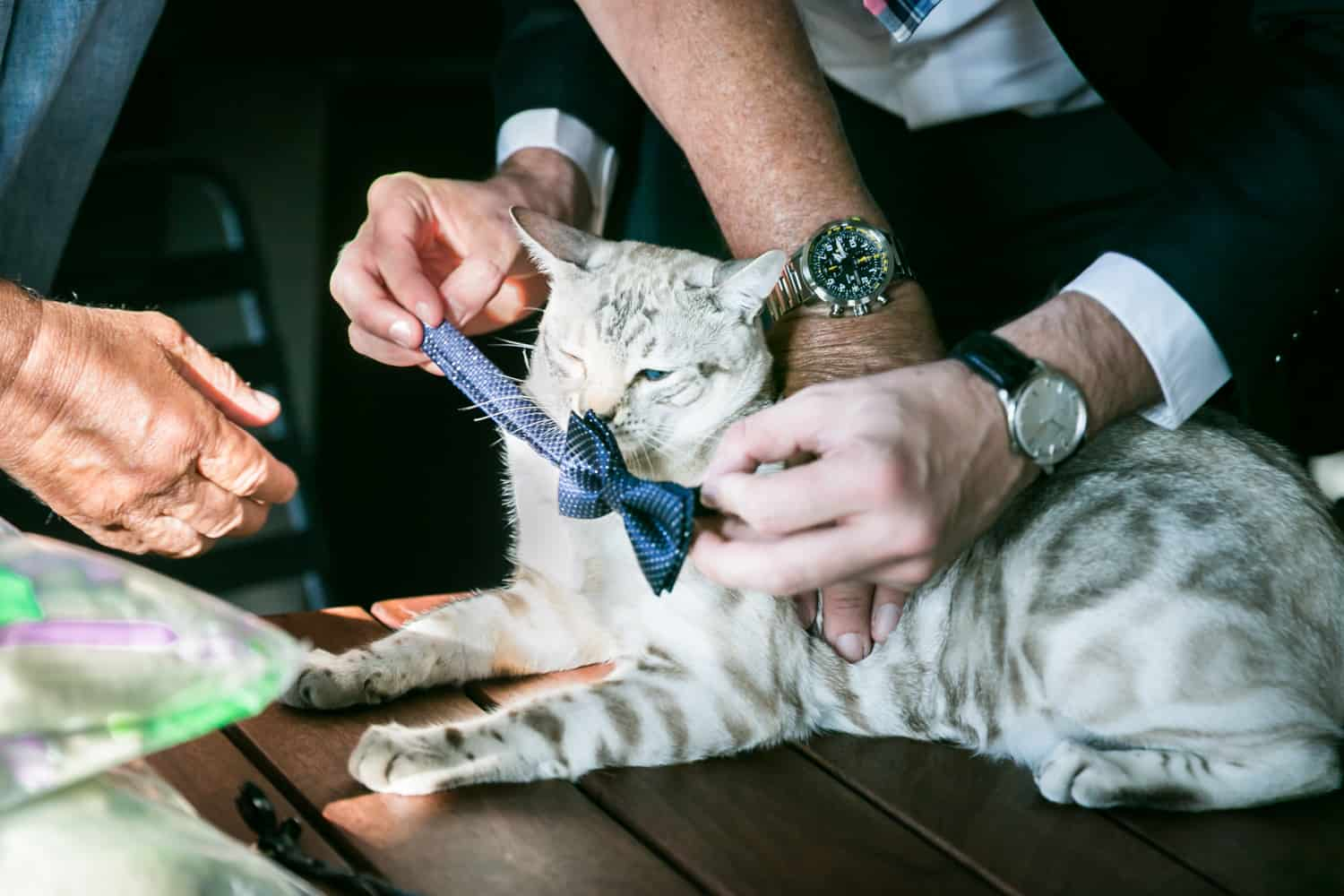 Close up of hands putting bowtie on cat for an article on tips for including your pet in your wedding