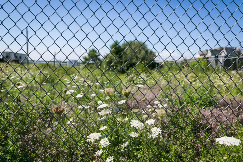 Queen Anne's Lace flowers seen through fence
