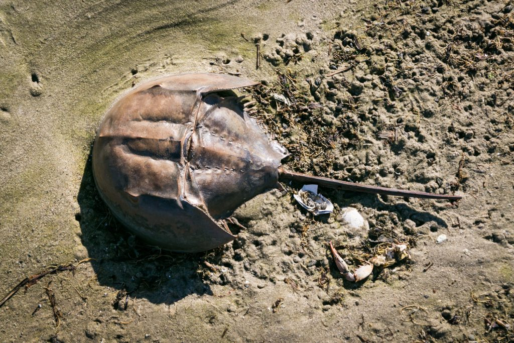 Dead Horse Bay photos of horseshoe crab shell on beach