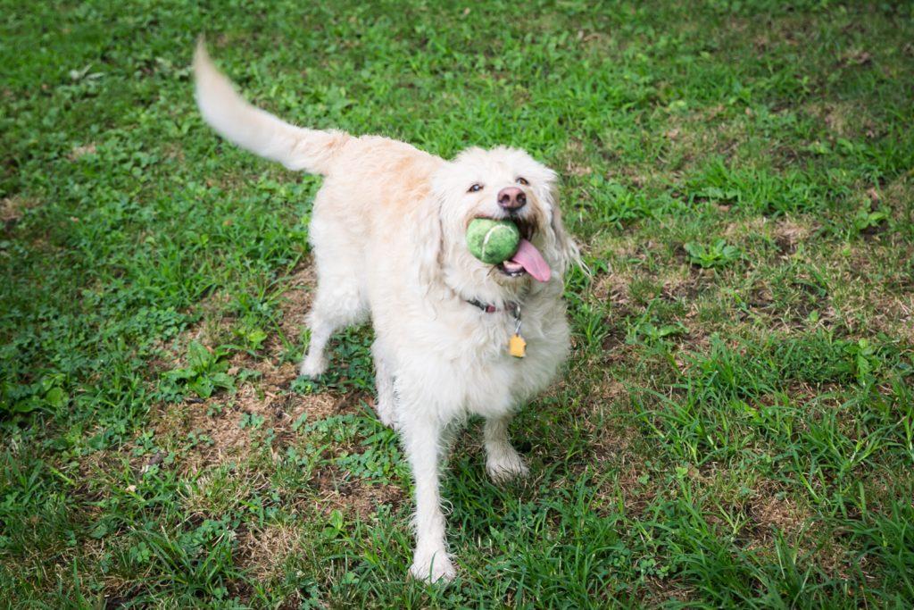 Dog holding tennis ball in its teeth