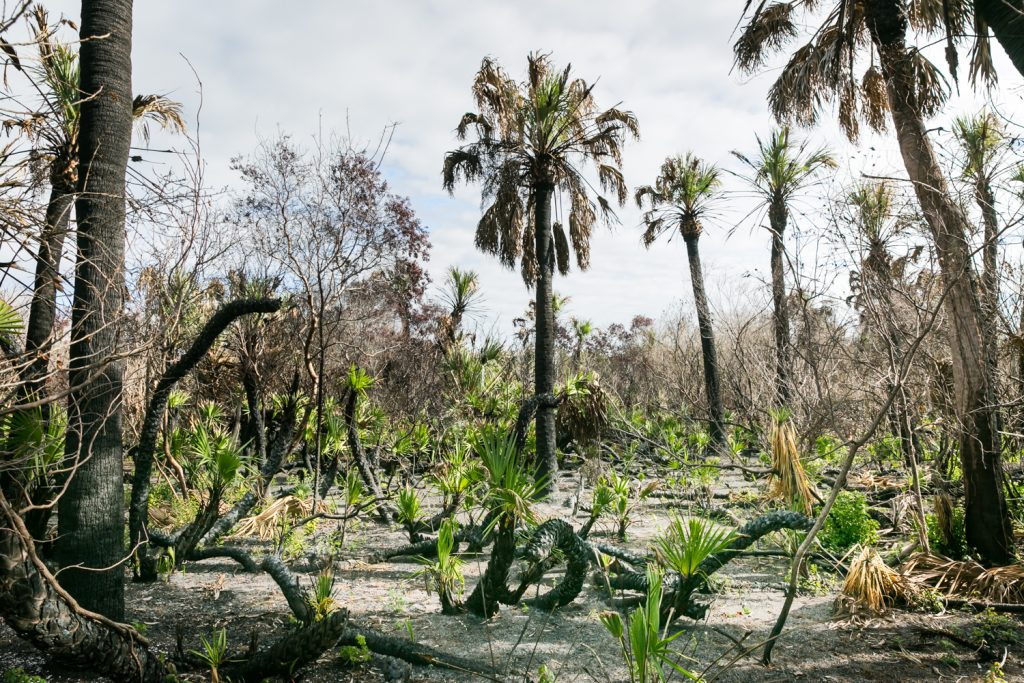 Palm grove showing signs of controlled burn for article on Honeymoon Island photos