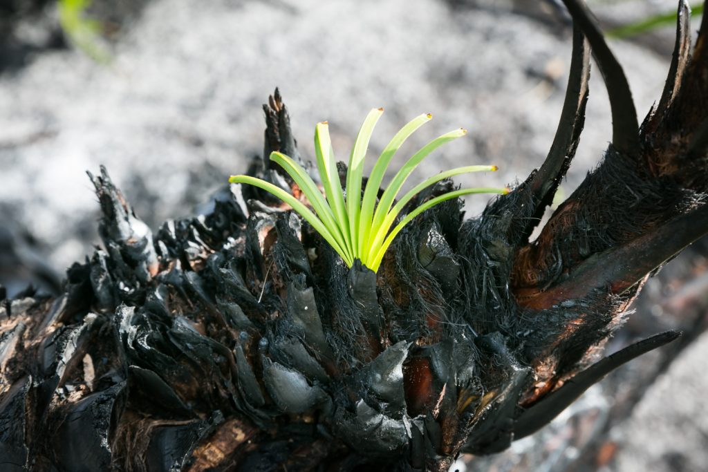 Green leaves emerging from burned bark for article on Honeymoon Island photos