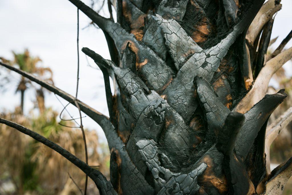 Burned bark on a palm tree for article on Honeymoon Island photos