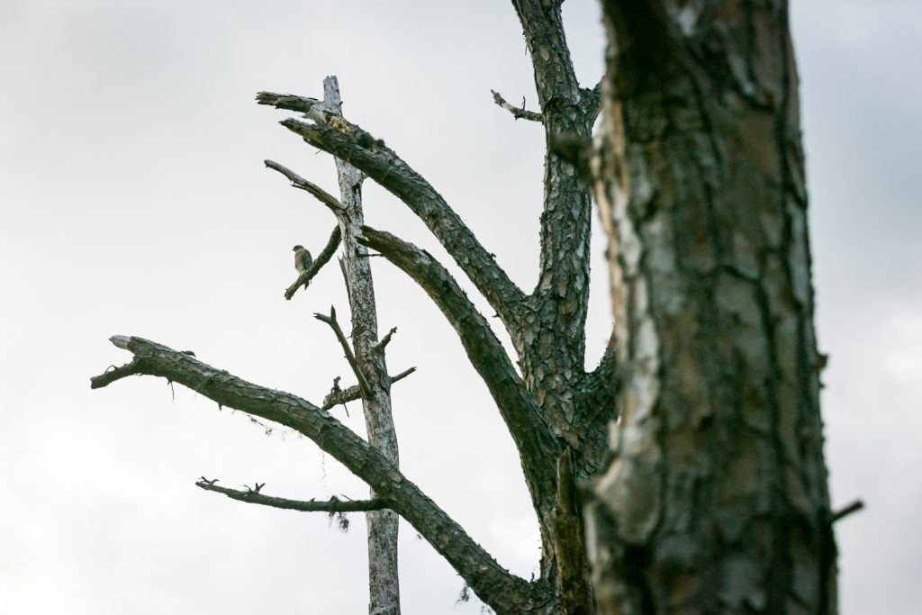 Osprey perched in tree