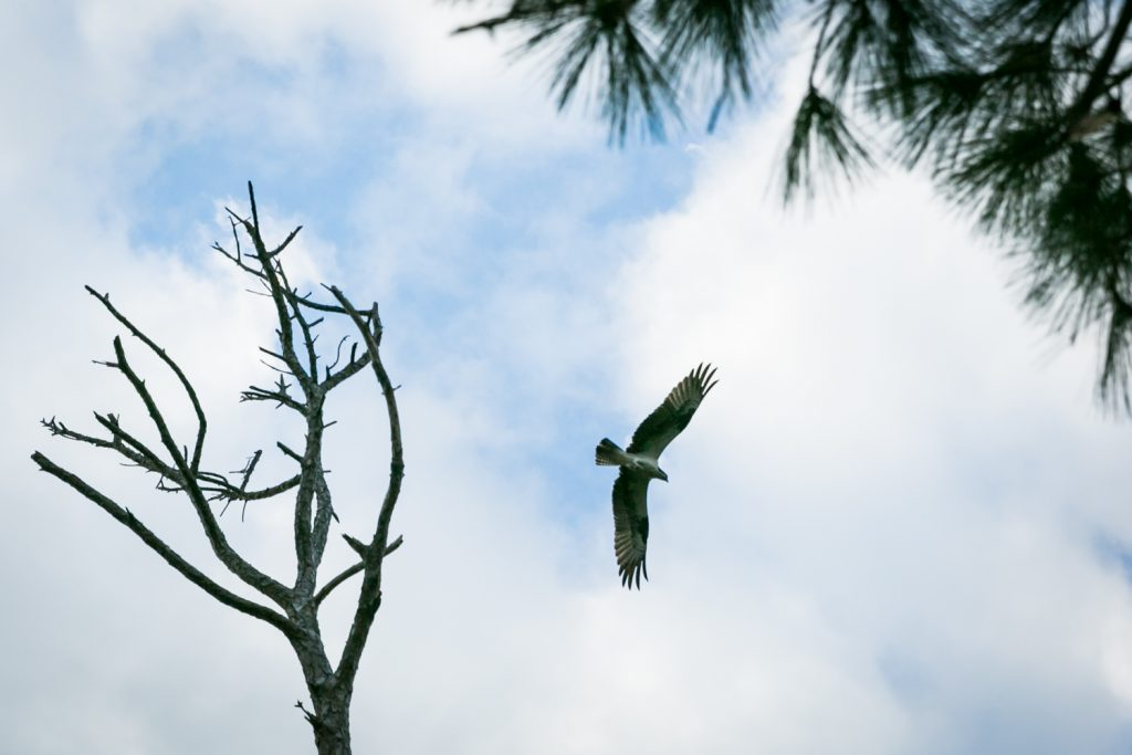 Osprey flying with wings outstretched