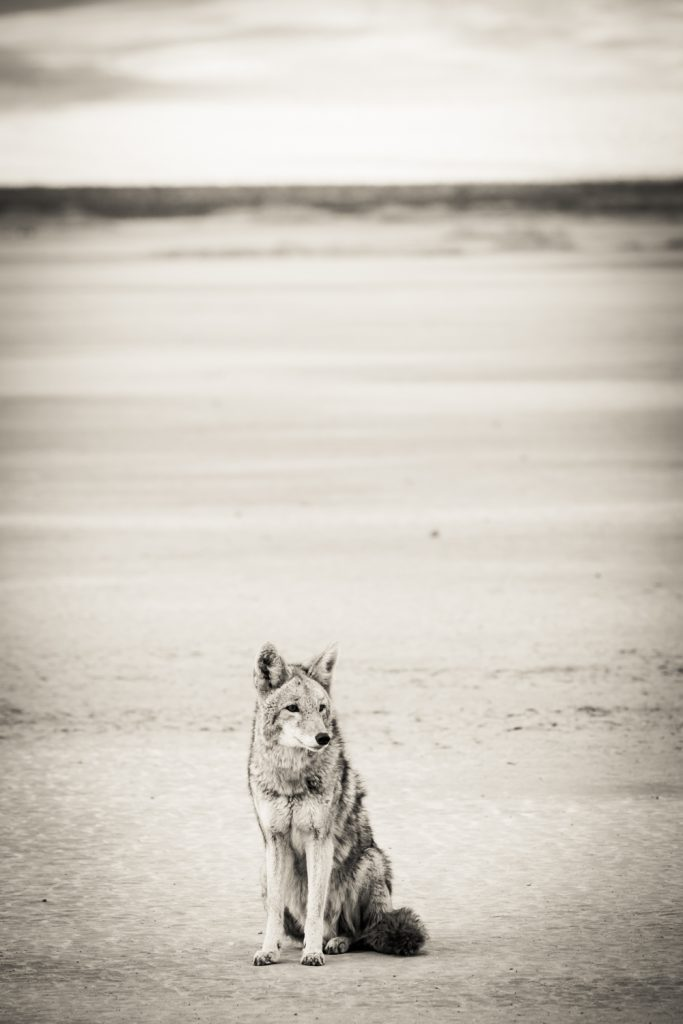 Black and white photo of coyote sitting on ground in Death Valley National Park
