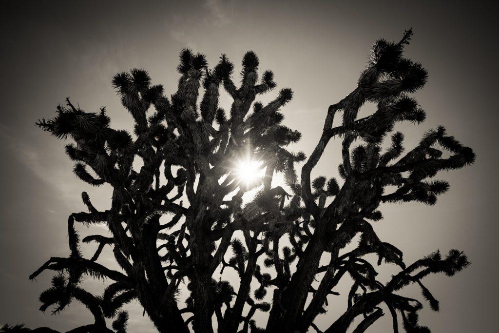 Black and white photo of backlit Joshua Tree cactus