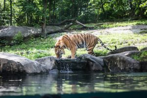 Tiger drinking for an article on Bronx Zoo photo tips