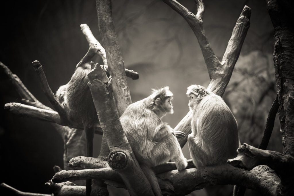 Ebony langurs for an article on Bronx Zoo photo tips