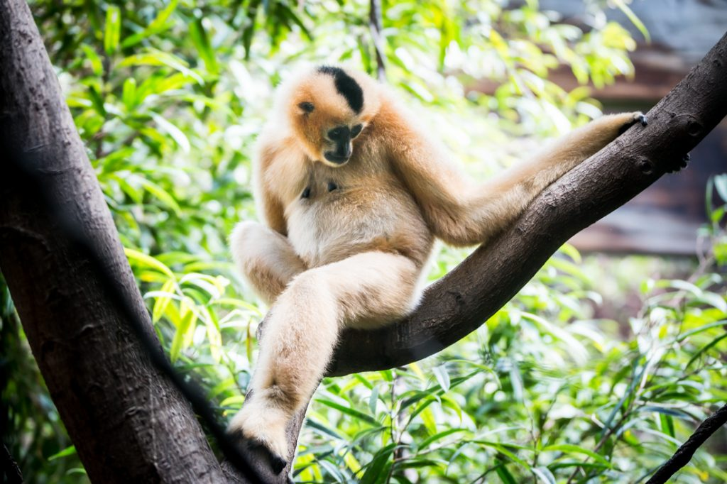 White-cheeked gibbon for an article on Bronx Zoo photo tips