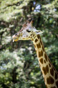 Giraffe for an article on Bronx Zoo photo tips