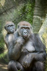 Family of gorillas for an article on Bronx Zoo photo tips