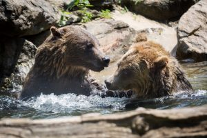 Grizzly bears for an article on Bronx Zoo photo tips