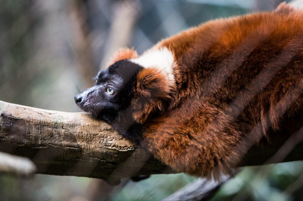 Red ruffed lemur for an article on Bronx Zoo photo tips