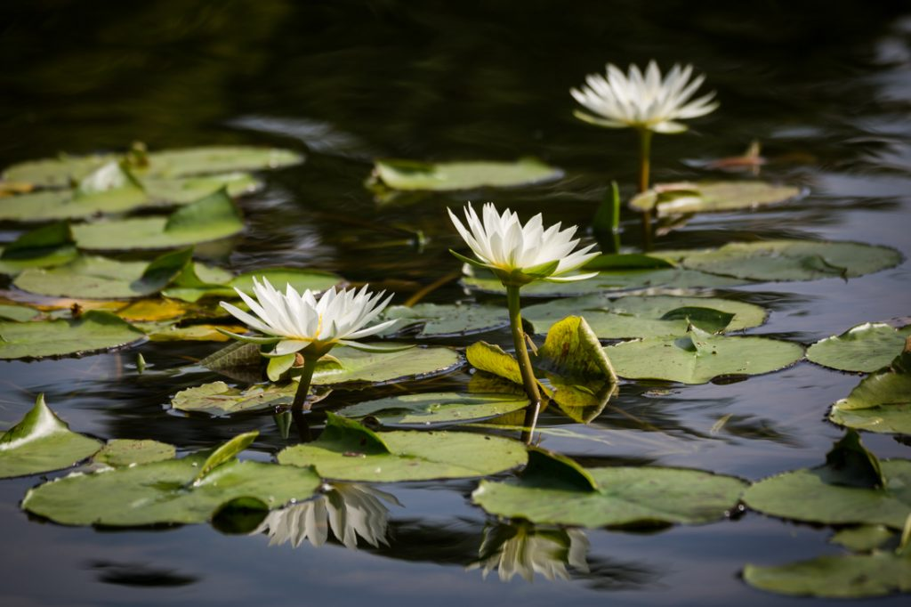 Water lilies in Bethesda Fountain for an article on a Central Park lake proposal