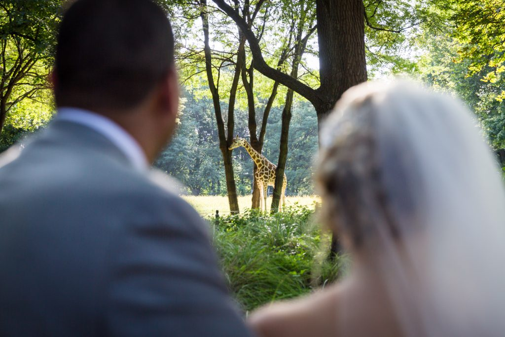 Bride and groom watching giraffe at a Bronx Zoo wedding