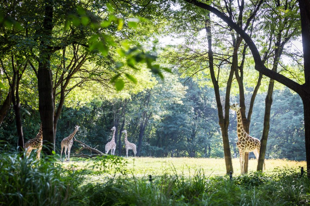 Giraffes at a Bronx Zoo wedding