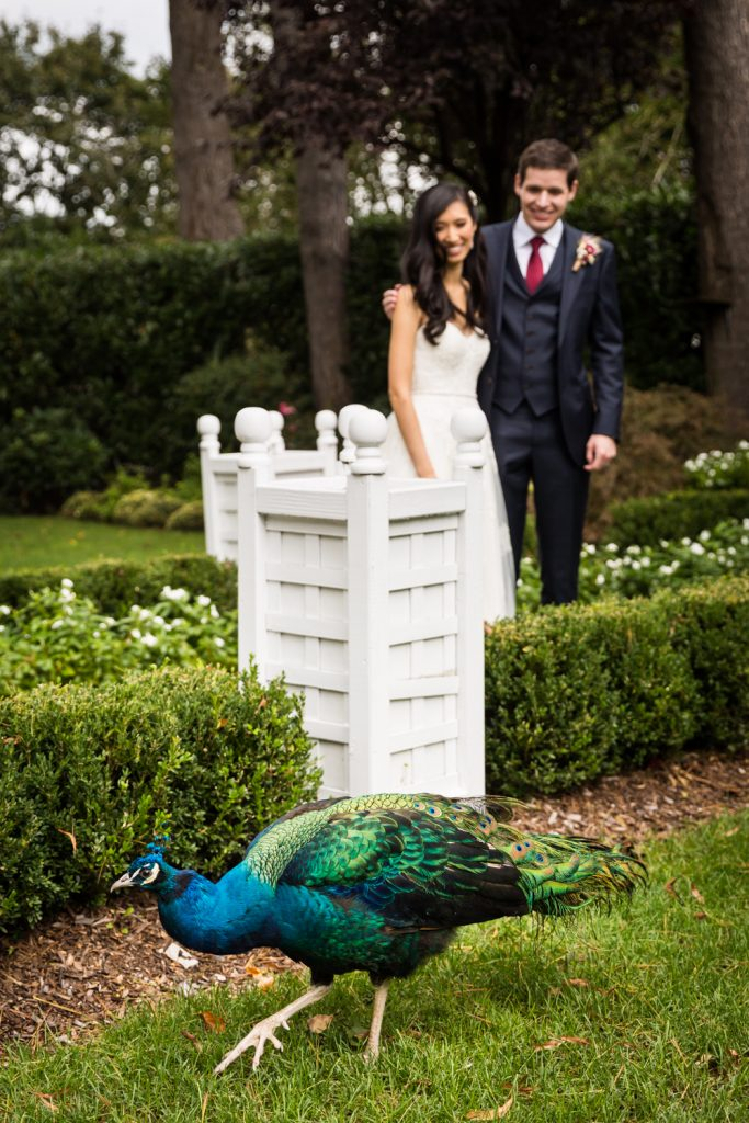 Peacock in garden with bride and groom in background