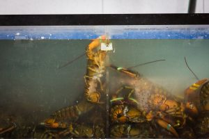 Lobster in a tank for an article on website photography tips