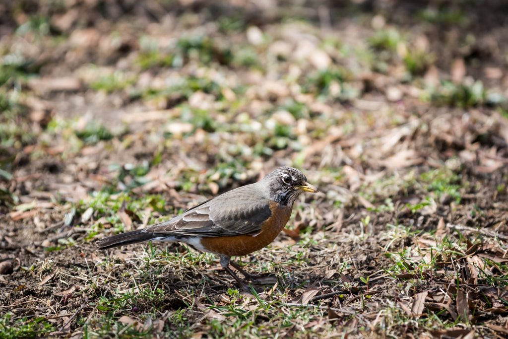 Close up of robin on ground