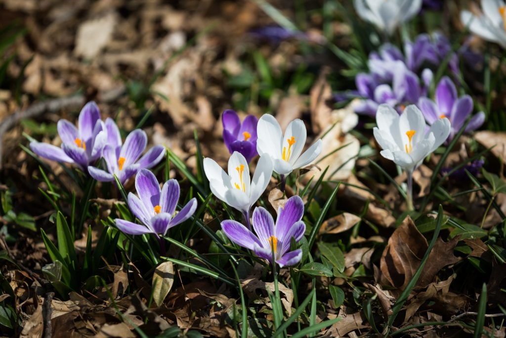 Close up on blooming purple and white crocus flowers
