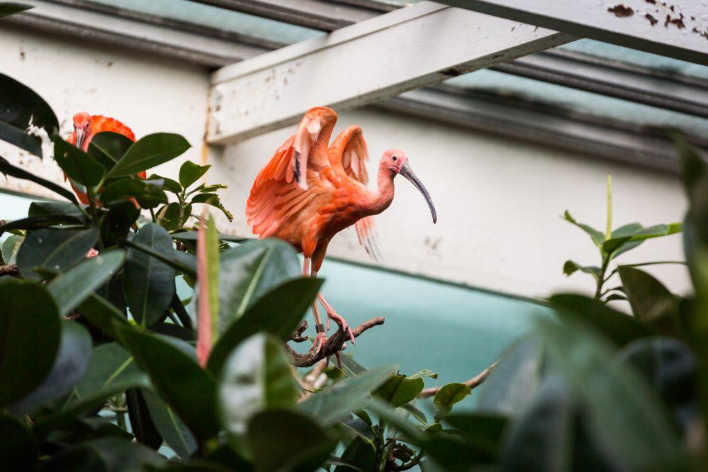 Pink ibis in Bronx Zoo Aquatic Bird House