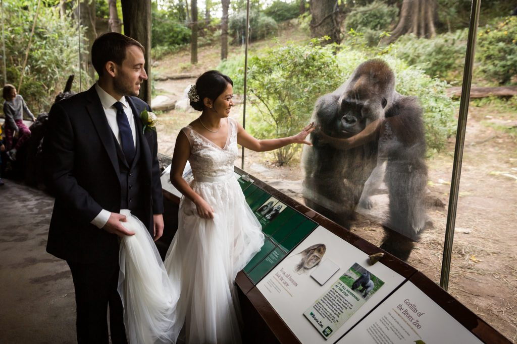 Bride and groom touching glass of gorilla exhibit for Bronx Zoo wedding photos