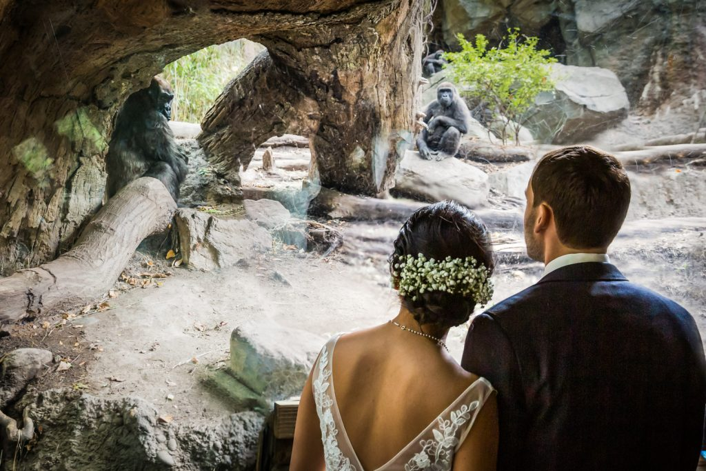 Bride and groom watching gorillas in Congo Gorilla Forest exhibit