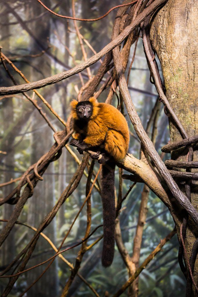 Lemur in Bronx Zoo Madagascar exhibit
