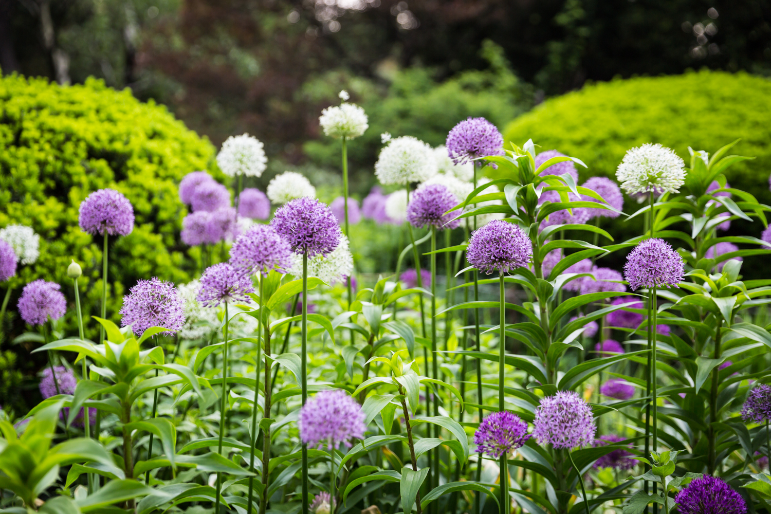Purple and white flowers in Central Park Shakespeare Garden