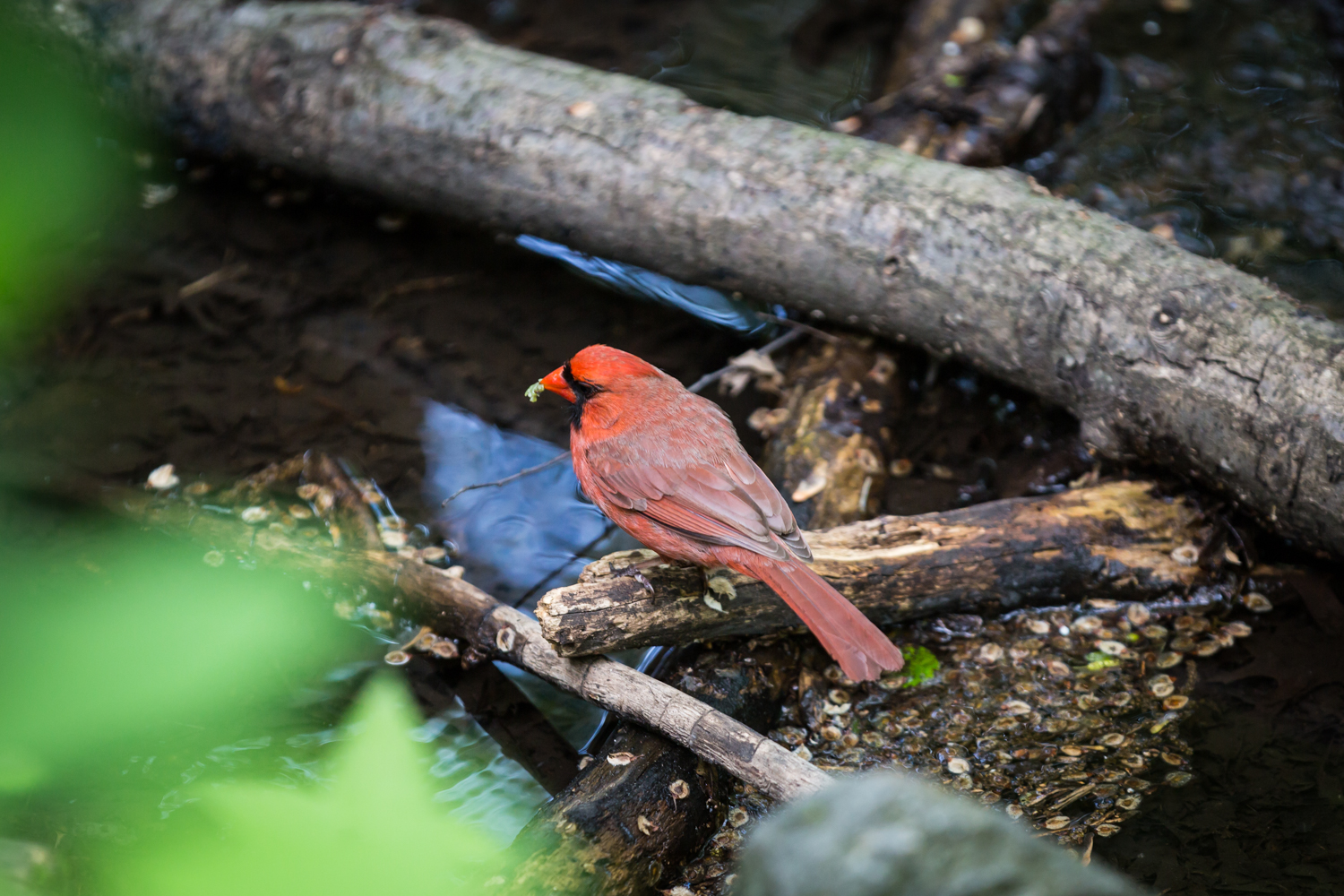Red cardinal bird in Central Park