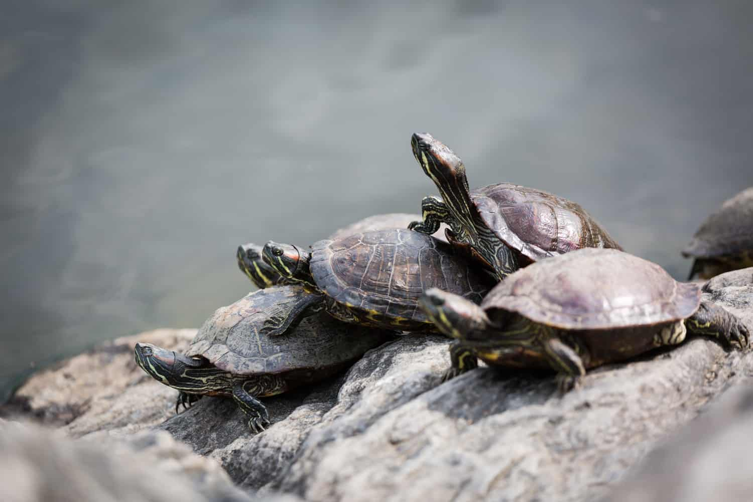 Four turtles sunning on a rock