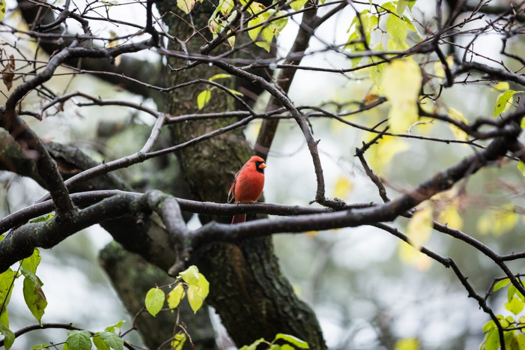 Red robin resting on tree branch in Fort Tryon Park